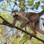 White fronted capuchin monkey (Cebus albifrons)